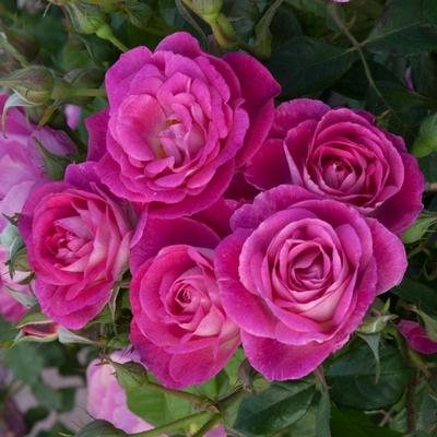Easy to Please Tree Rose